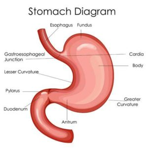 Medical Education Chart Of Biology For Stomach Diagram
